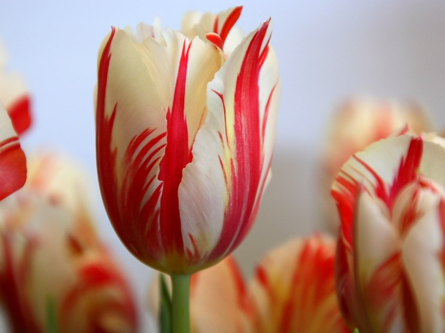 red-striped-tulip-wallpapers_5641_1024x768